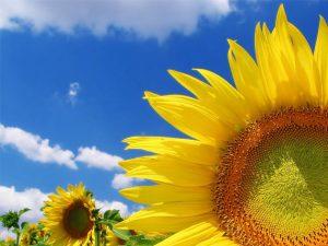 Рекомендована система живлення соняшнику