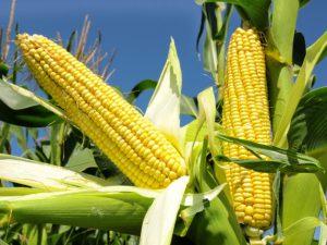 Рекомендована система живлення кукурудзи